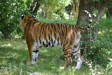 В Китае в приюте для животных из костей амурского тигра варили вино