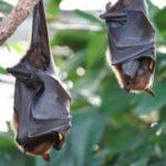 Ученые из Уханя признались, что были покусаны зараженными летучими мышами