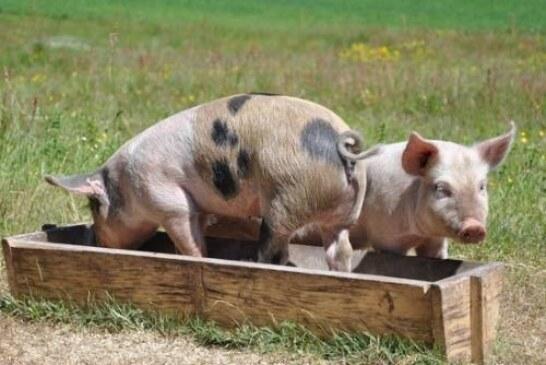 В распространении коронавируса обвинили заболевших свиней