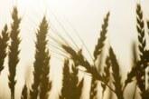 Российские экспортеры приостановили закупку пшеницы, сообщили СМИ