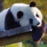 Руководителей Эдинбургского зоопарка обвинили в сексуальном насилии над китайскими пандами