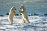 На Земле Франца-Иосифа на медведей наденут спутниковые ошейники