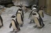 Ученые выявили способность пингвинов распознавать сородичей по голосу