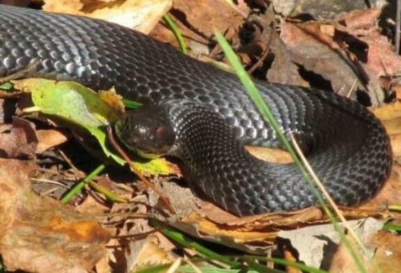 Найдена змея, чей яд может защитить человека от коронавируса